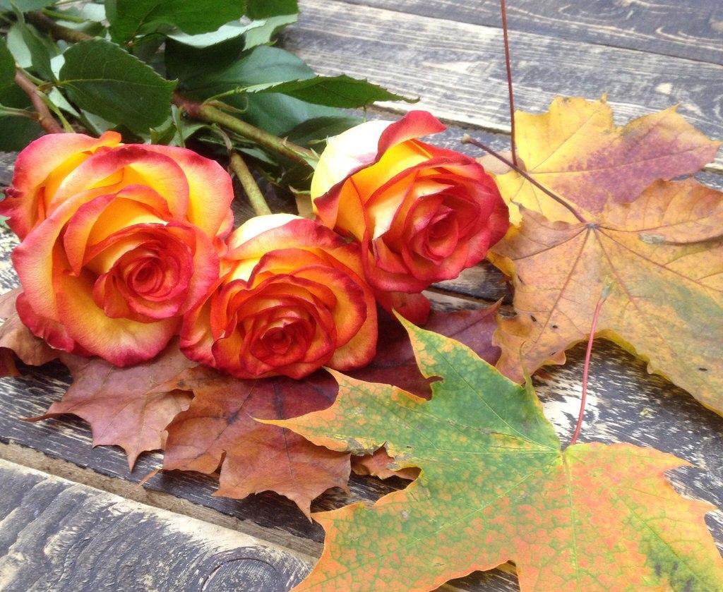 Музыкальные, картинки осенние розы